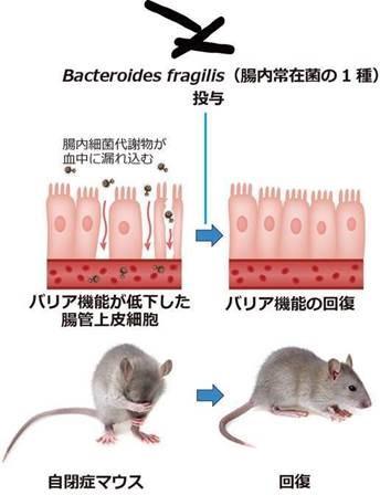 マウスの腸管上皮細胞
