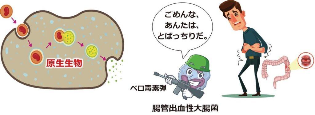 腸管出血性大腸菌のベロ毒素と原生動物