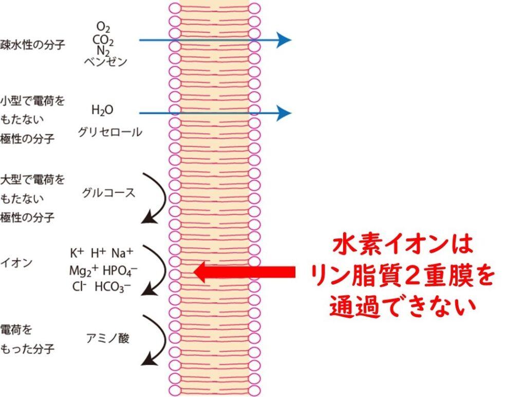 水素イオンは細胞膜を通過できない