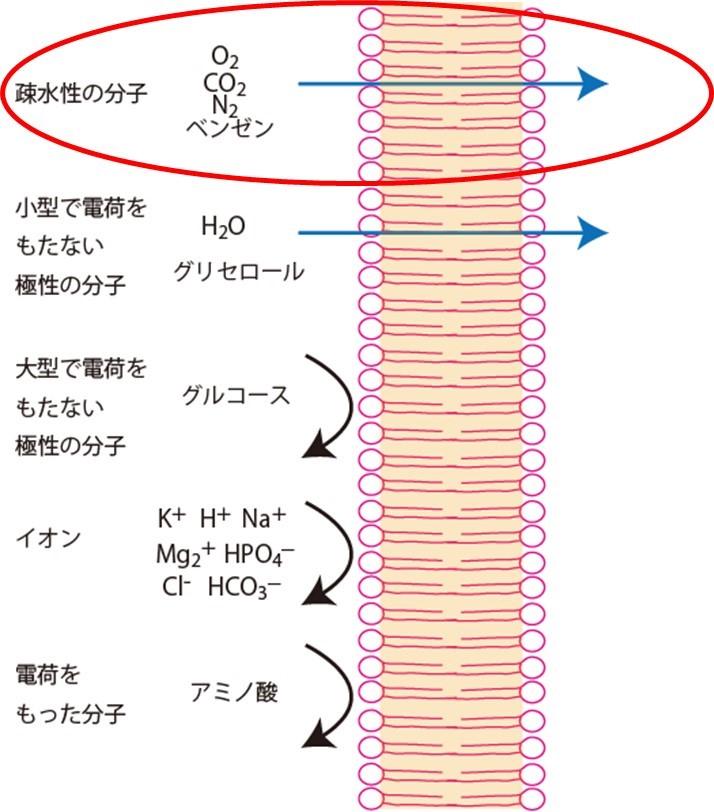細胞膜の各化合物の透過性