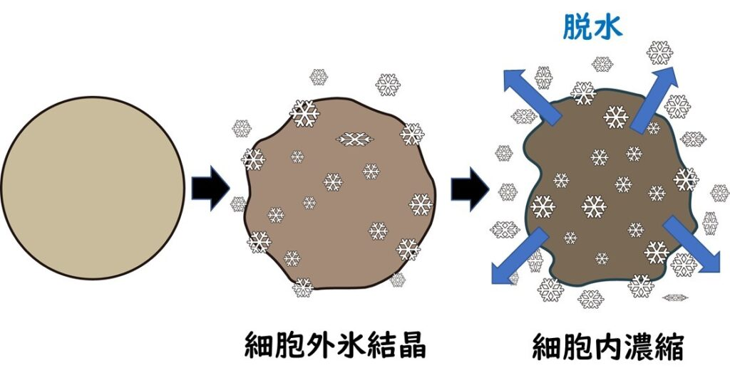 冷凍していく際に脱水が起き、細胞が損傷している